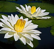 Two White Waterlilies by cclaude
