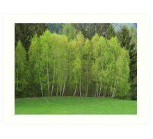 Spring Green - Birch Trees Art Print