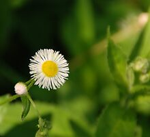 Little Sweet Daisy by Vonnie Murfin