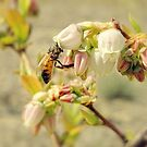 Blueberry Honey Bee by Sharon Woerner