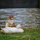 Ducks In the Park by jasmith162
