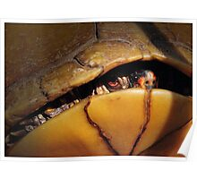 Eastern Box Turtle (three-toed Box Turtle) Poster