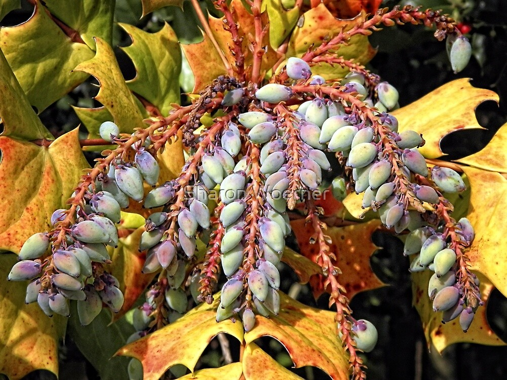 Grape Holly by Sharon Woerner