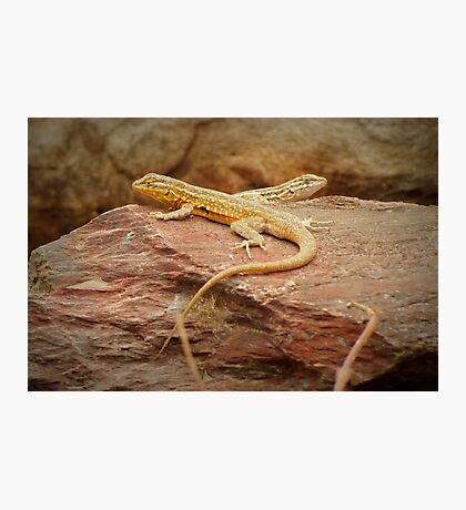 Common Side-blotched Lizard (Pair) Photographic Print