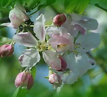 Big Blossoms - Big Apples? by karina5