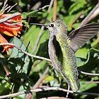 Female Anna's Hummingbird by Carl Olsen
