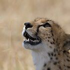 Cheetah Profile by barrach