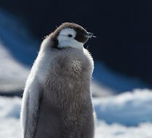 Penguin Chick Walk by barrach
