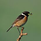 Male Stonechat - II by Peter Wiggerman