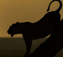 Lion Silhouette by barrach