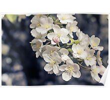 Flowering Crab Apple Tree Poster