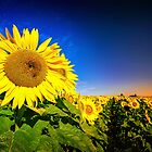 Field of Sunshine... by tracielouise