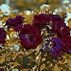 Roses Tune to Bordo by Nira Dabush