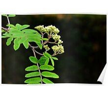 Rowan tree blossom  Poster