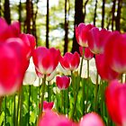 Tulips by kianhwee