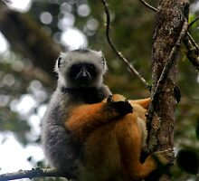 Diademed Sifaka  ( Lemur )  Andasibe Madagascar by john  Lenagan