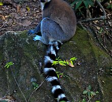 Ring-tailed Lemur  Isalo and Ihosy Madagascar by john  Lenagan