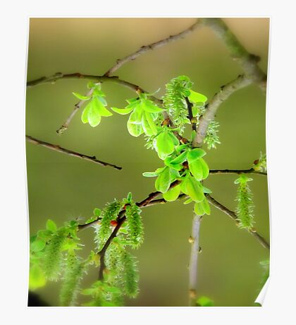 Catkins... Poster