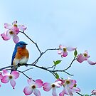 Bluebird visits red dogwood by Randy & Kay Branham