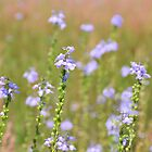 Blue Toadflax by Dawne Dunton