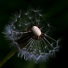 Dandelion Different VI by Nicole W.