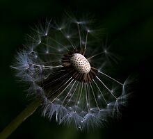 Dandelion Different VI by Nicole W.