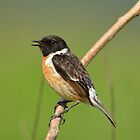 Male Stonechat - IV by Peter Wiggerman