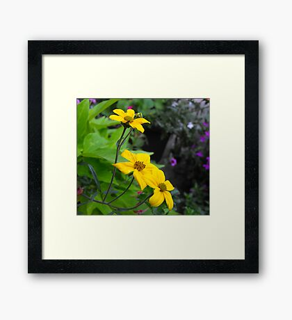 pretty yellow garden flowers. nature photography. Framed Print