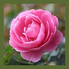 pretty pink rose flower square photo print. by naturematters