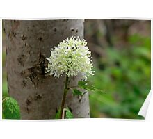 Red Baneberry Blossoms Poster