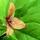 Wild Red Trillium by Kathleen Daley