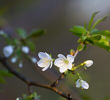 Wild cherry flowers by Maxim Mayorov