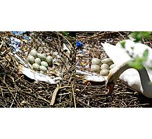 Swan's Nest & Eggs Photographic Print