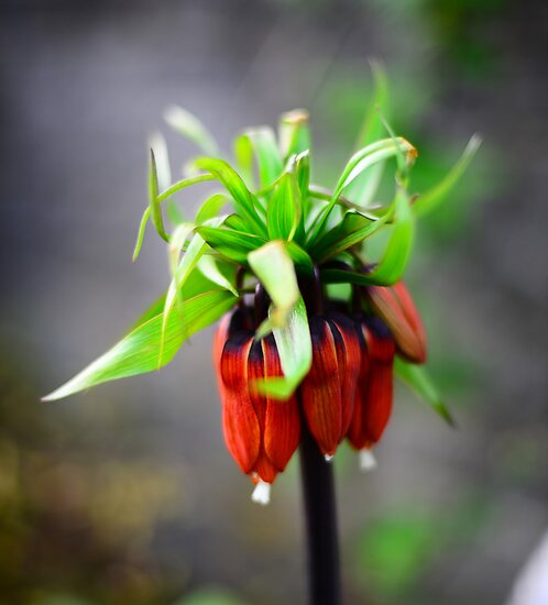 Crown Imperial by photobymdavey