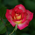 Peace Rose by Sandy Keeton