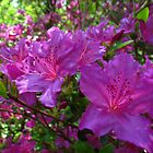Azalea Days by MarianBendeth