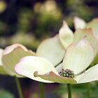 Flowering Dogwood by Linda Makiej