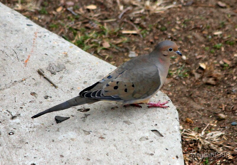 """Mourning Dove "" by Meghan1980 
