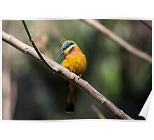 Blue-breasted bee-eater Poster