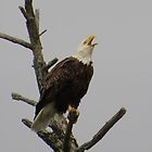 Bald eagle warns its young by Alex Call