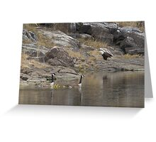 Wary geese and bald eagle cooexist Greeting Card