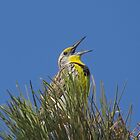 western meadowlark by Alex Call