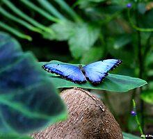 Blue Morpho Butterfly by Meghan1980