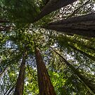 Looking Up - Taylor State Park by Richard Thelen