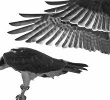 Osprey Landing Sticker
