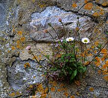 Daisies Growing In An Old Stone Wall - Lyme Dorset UK by lynn carter