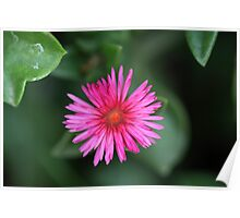 Aptenia cordifolia Poster