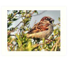 Little male Sparrow  Art Print
