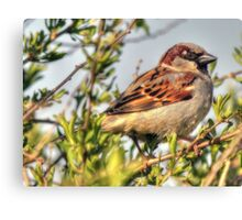 Little male Sparrow  Canvas Print