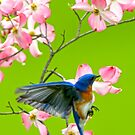 Eastern Bluebird and Red Dogwood by Randy & Kay Branham